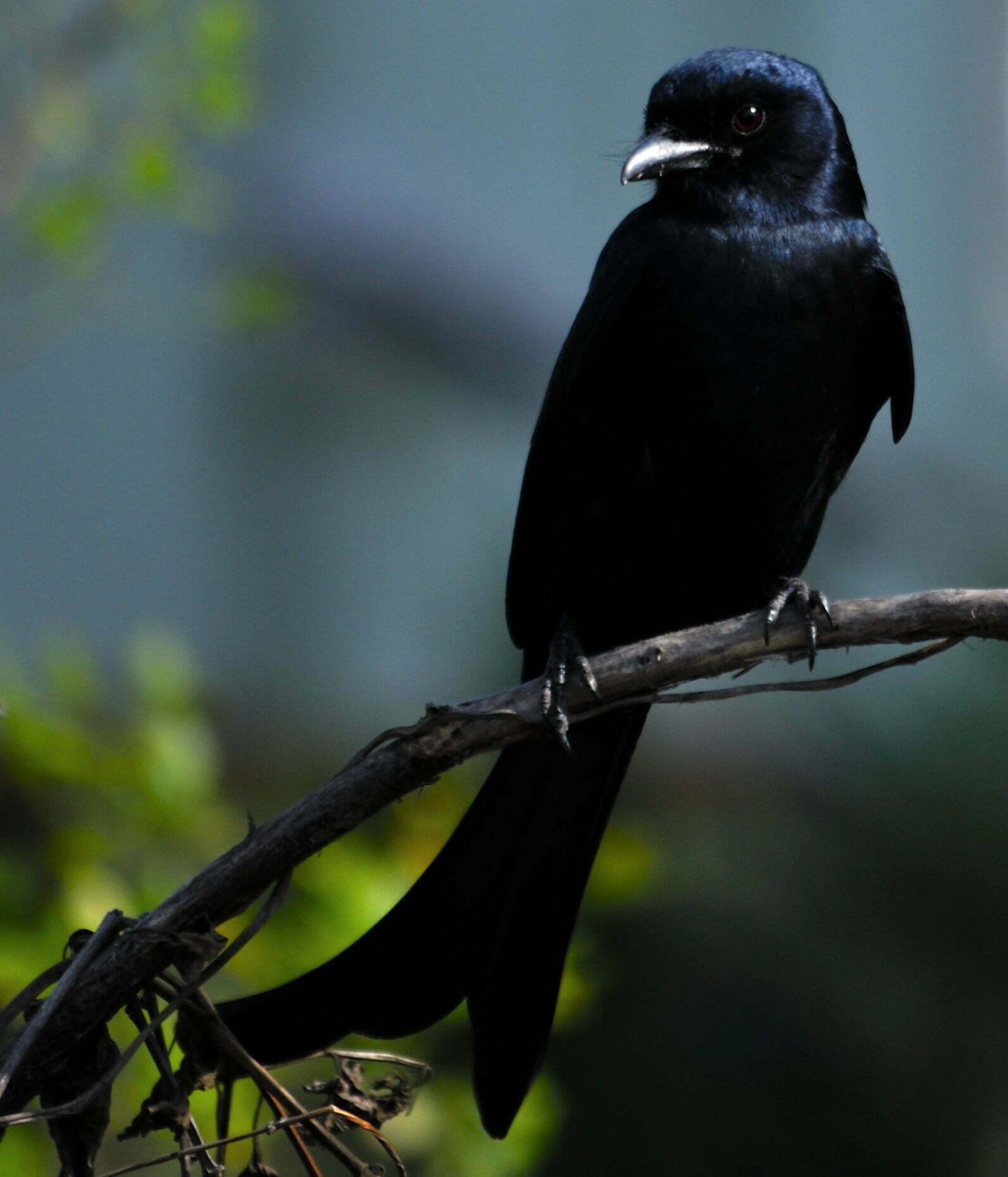 Black Drongo Bird