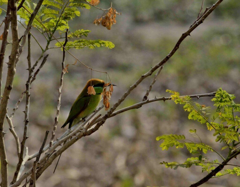 Green bee eater bird R4479
