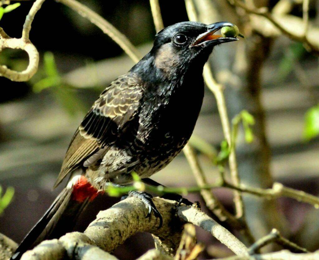 Bulbul Bird R3070