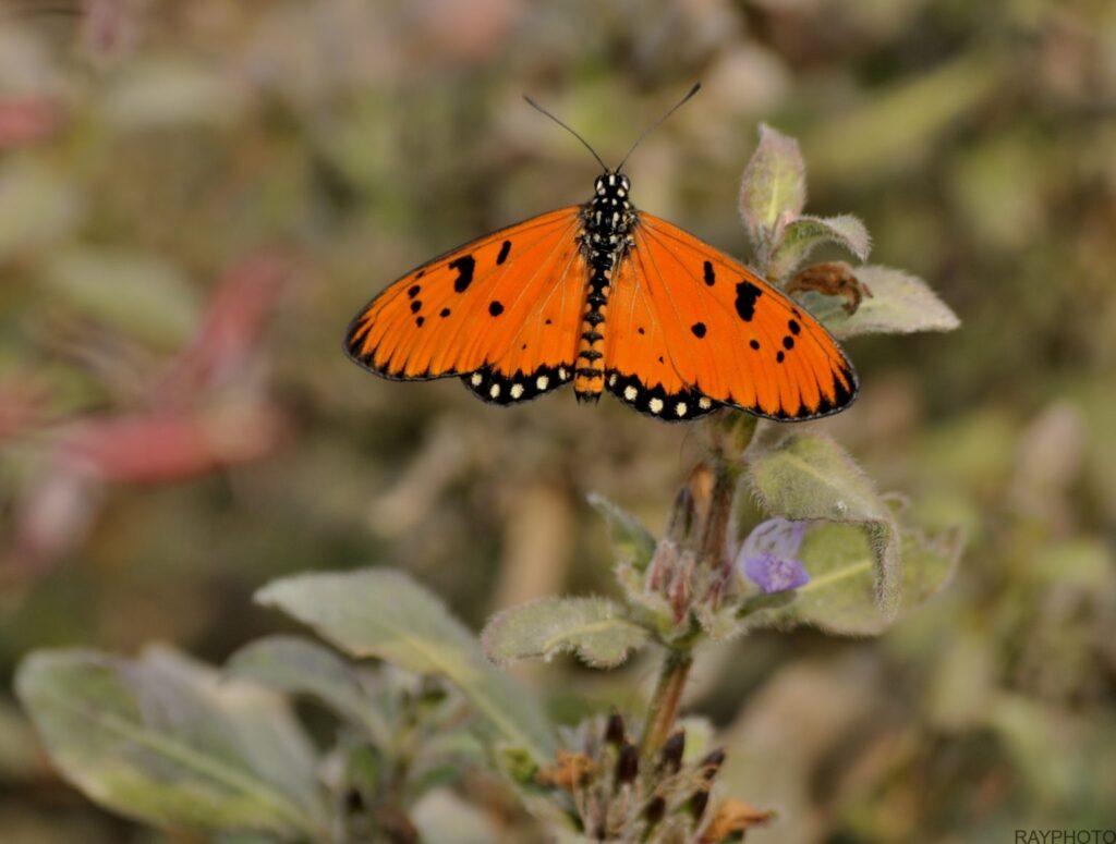 Common leopard Butterfly DSC2045