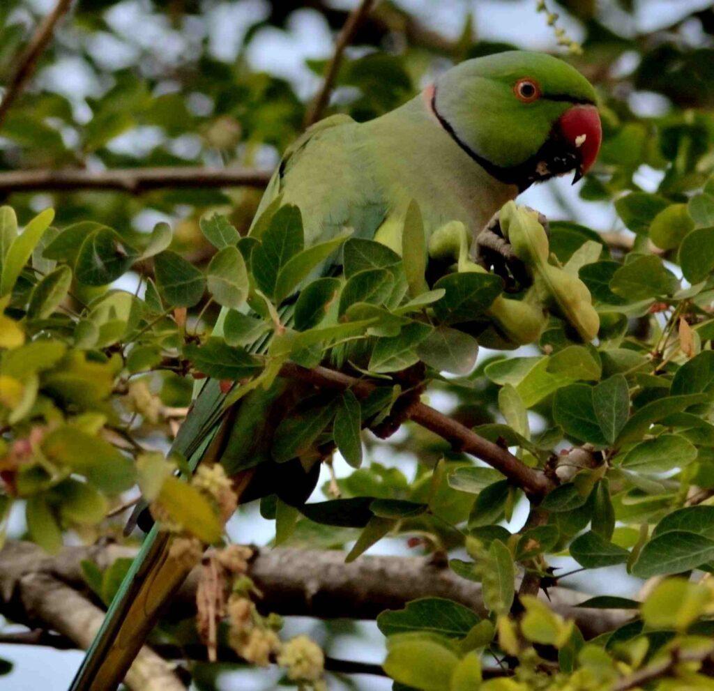 Rose-ringed Parakeet R1429