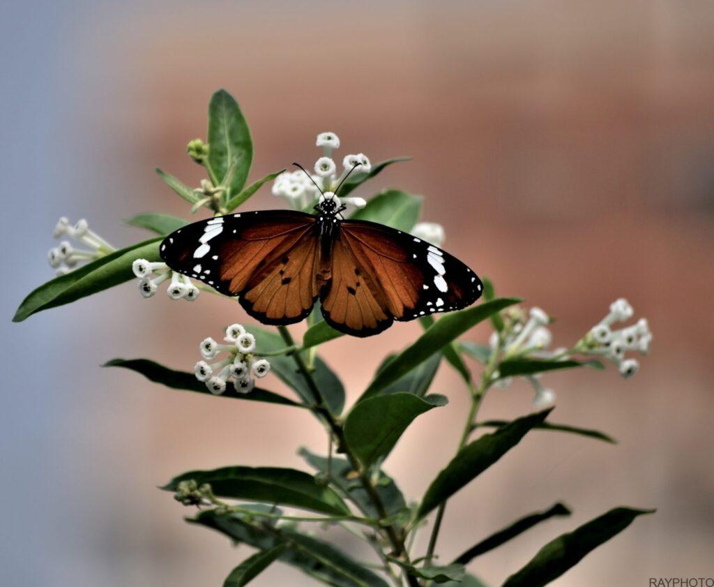 Striped tiger butterfly DSC0751
